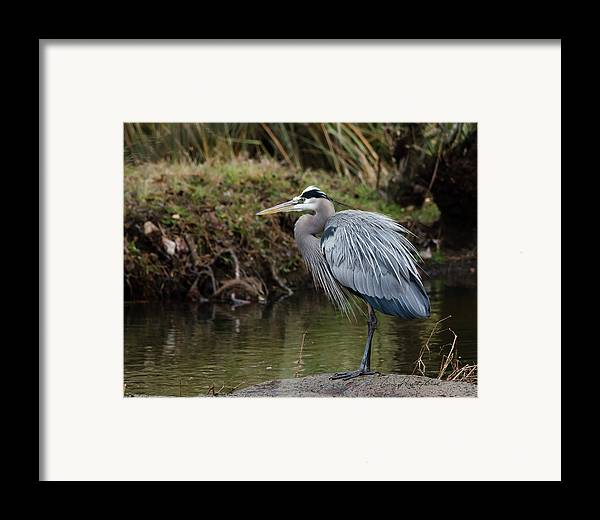 Hero Framed Print featuring the photograph Great Blue Heron On The Watch by George Randy Bass