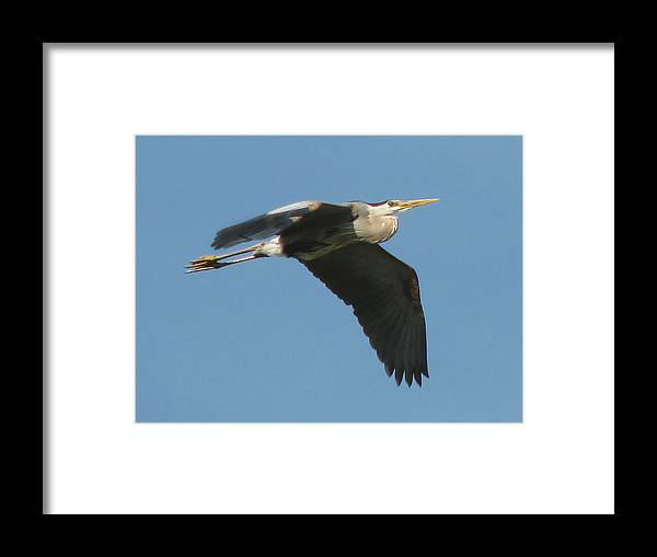 Nature Framed Print featuring the photograph Great Blue by Peg Urban