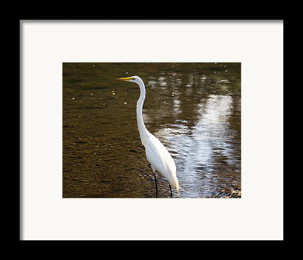 Great Egret Framed Print by Brian Manfra