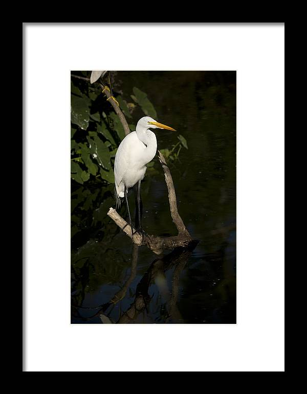 Great Egret Framed Print featuring the photograph Great Egret by Chad Davis
