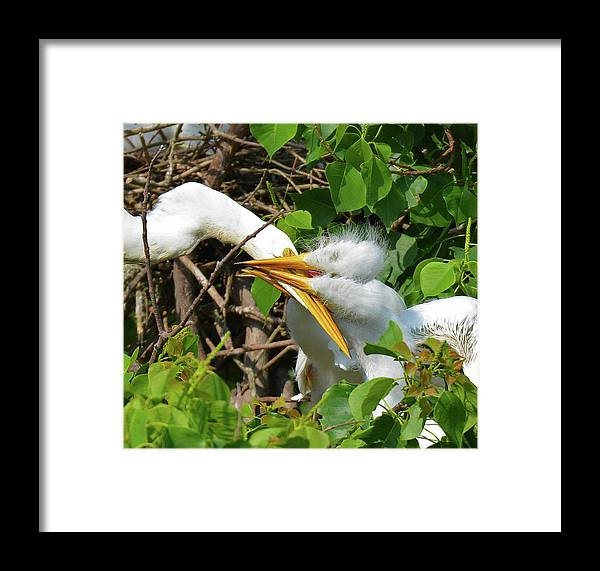 Bird Framed Print featuring the photograph Great Egret Chicks And Mom by Lindy Pollard