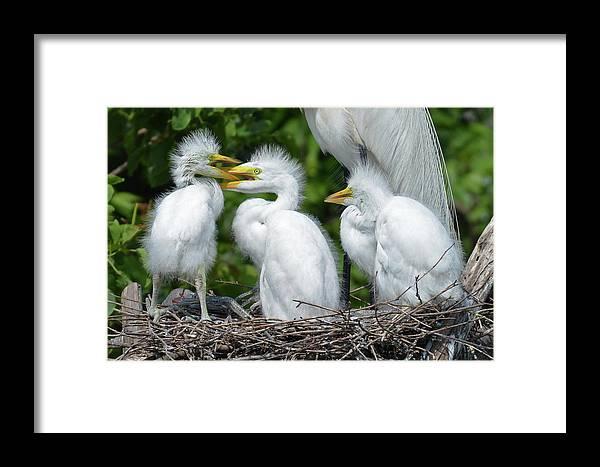 Bird Framed Print featuring the photograph Great Egret Chicks by Lindy Pollard