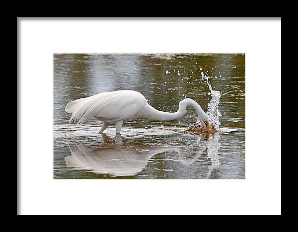Egret Framed Print featuring the photograph Great Egret Fishing by Alan Lenk