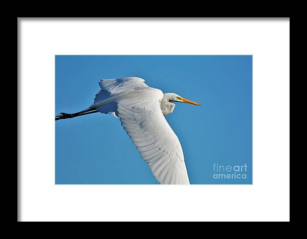 Great White Egret Framed Print featuring the photograph Great Egret Flying High by Julie Adair