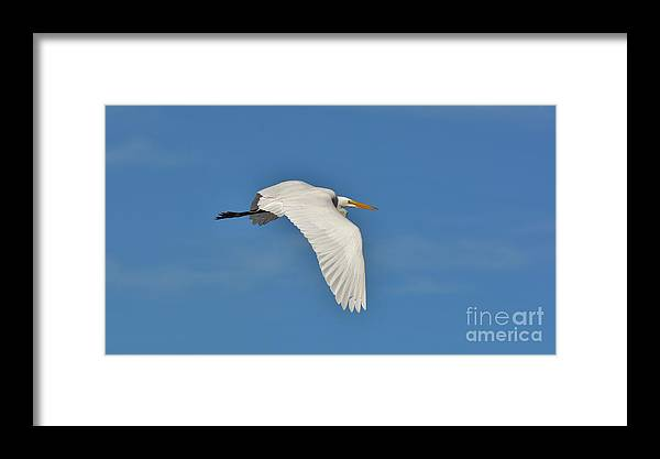 Great White Egret In Flight Framed Print featuring the photograph Great Egret In Flight 2 by Julie Adair