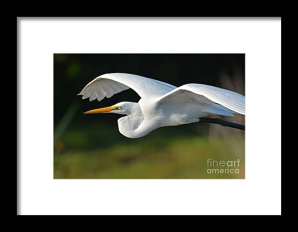 Great White Egret Framed Print featuring the photograph Great Egret In Flight by Julie Adair