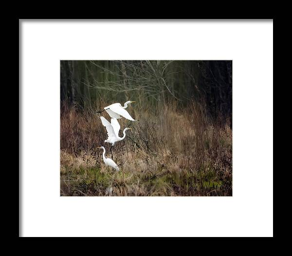 Bird Framed Print featuring the photograph Great Egrets by Al Mueller