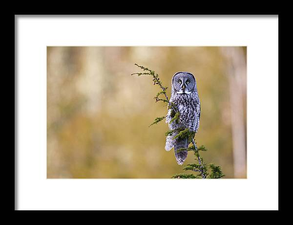 Great Gray Owl Framed Print featuring the photograph Great Gray Owl by Brandon Broderick