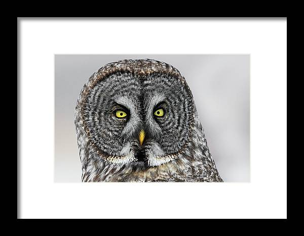 Owl Framed Print featuring the photograph Great Gray Owl Portrait by Christopher Ciccone