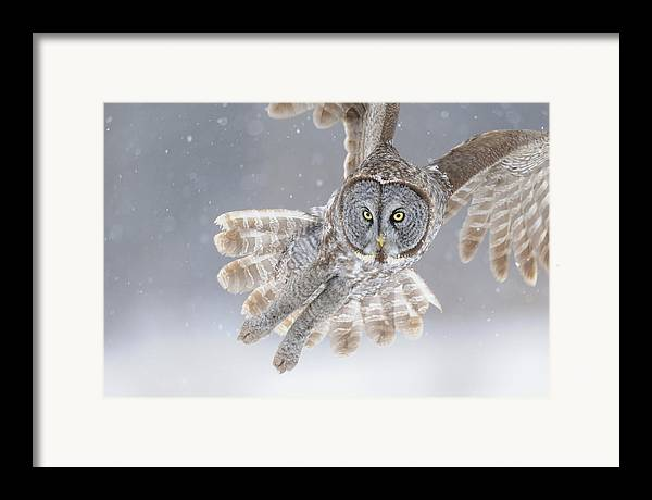 Great Framed Print featuring the photograph Great Grey Owl In Snowstorm by Scott Linstead