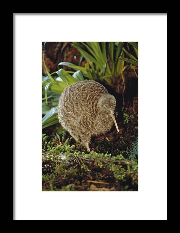 Mp Framed Print featuring the photograph Great Spotted Kiwi Apteryx Haastii Male by Tui De Roy