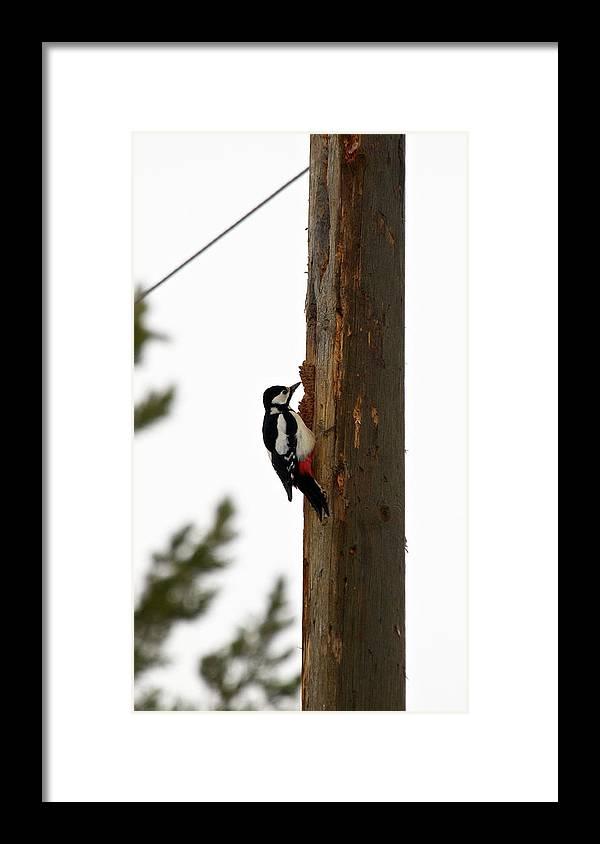 Lehtokukka Framed Print featuring the photograph Great Spotted Woodpecker by Jouko Lehto