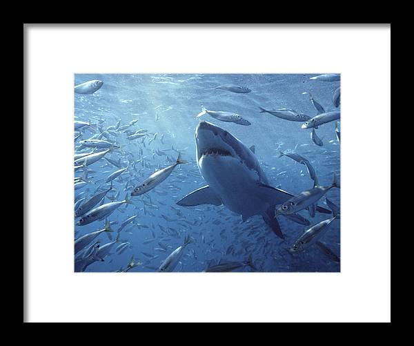 Mp Framed Print featuring the photograph Great White Shark Carcharodon by Mike Parry