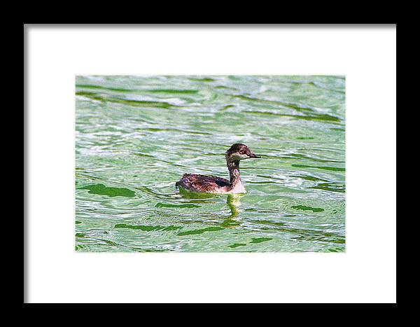 Grebe On Green Water Framed Print featuring the digital art Grebe On Green Water by Tom Janca