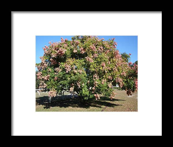 Tree Photo Framed Print featuring the photograph Green And Pink Tree Golden Rain Tree by Warren Thompson