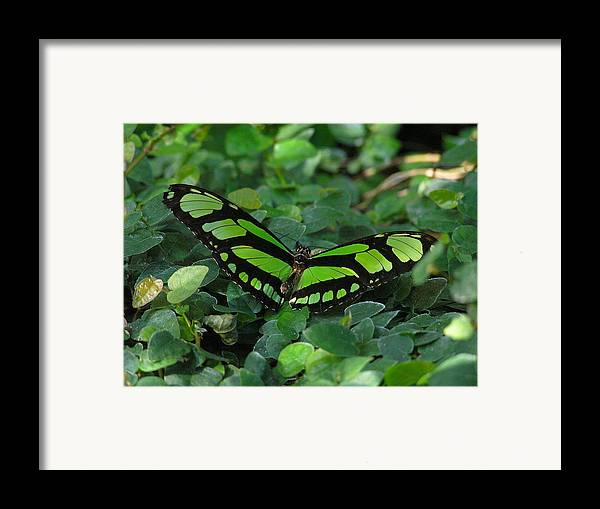 Green Framed Print featuring the photograph Green Butterfly by Louise Magno
