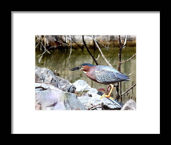 Bird Framed Print featuring the photograph Green Heron . 7d614 by Wingsdomain Art and Photography