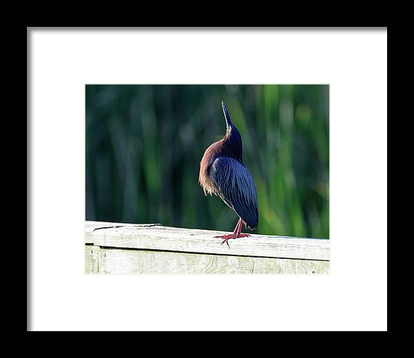 Green Heron Calling Softly In The Early Morning Framed Print featuring the photograph Green Heron Calling Softly In The Early Morning by Debra Martz