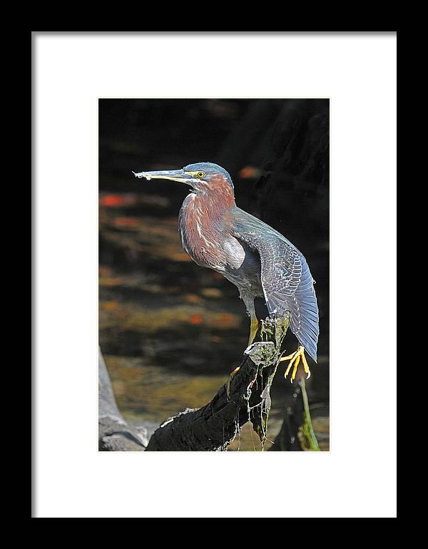 Heron Framed Print featuring the photograph Green Heron Sretching Wing by Alan Lenk