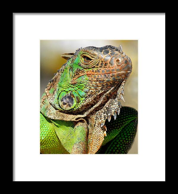Iguana Framed Print featuring the photograph Green Iguana Series by Craig Incardone