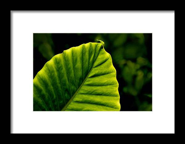 Leaf Framed Print featuring the photograph Green Leaf by Lyle Huisken