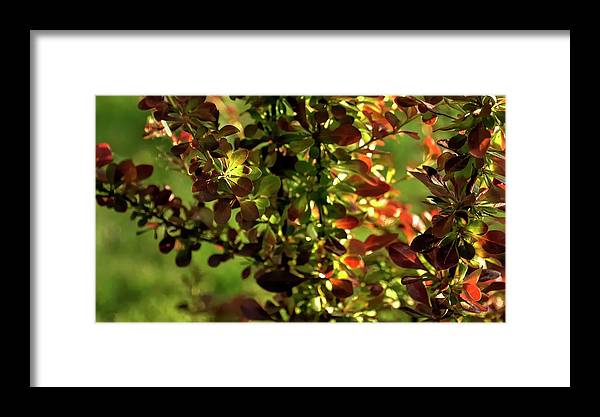 Willamette Framed Print featuring the photograph Green Leaf Red Leaf by Jerry Sodorff