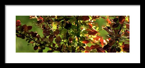 Willamette Framed Print featuring the photograph Green Leaf Red Leaf Pano by Jerry Sodorff