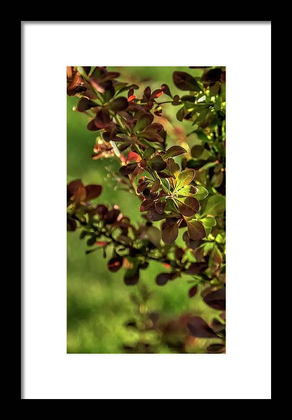 Willamette Framed Print featuring the photograph Green Leaf Spotlight by Jerry Sodorff