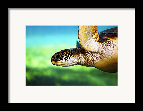 Green Framed Print featuring the photograph Green Sea Turtle by Marilyn Hunt