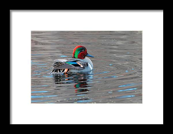 Teal Framed Print featuring the photograph Green-winged Teal by Alan Lenk