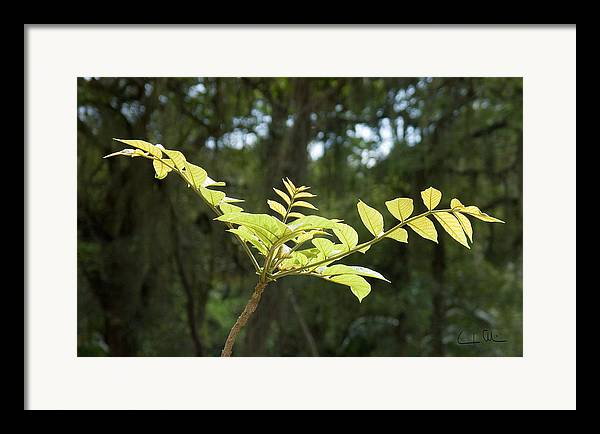 Green Framed Print featuring the photograph Green Y by Carlos Alvim