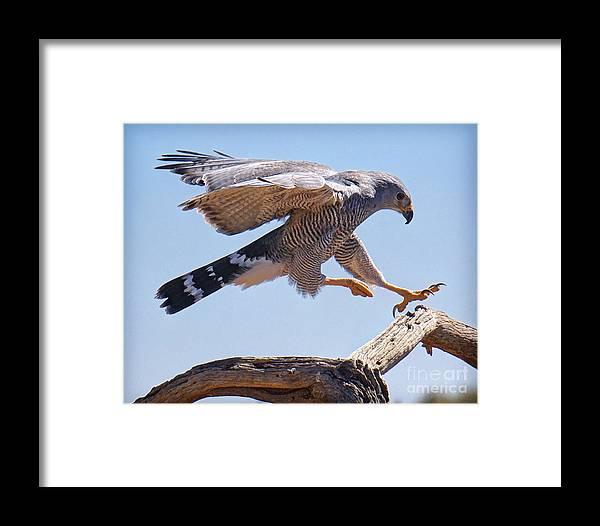 Grey Hawk Framed Print featuring the photograph Grey Hawk Alights by Martin Konopacki