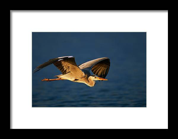 Heron Framed Print featuring the photograph Grey Heron In Flight by Johan Swanepoel