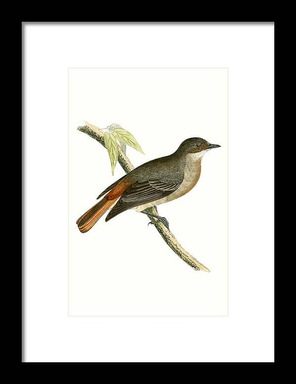 Bird Framed Print featuring the painting Grey Redstart by English School