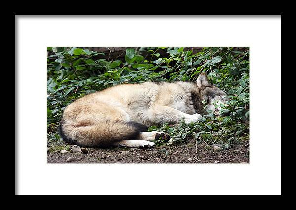 Northwest Trek Framed Print featuring the photograph Grey Wolf - 0008 by S and S Photo