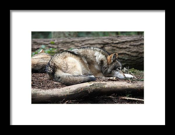 Northwest Trek Framed Print featuring the photograph Grey Wolf - 0011 by S and S Photo
