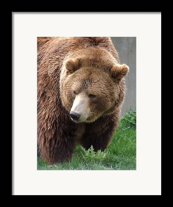 Grizzly Bear Framed Print featuring the photograph Grizzly Bear by Tiffany Vest