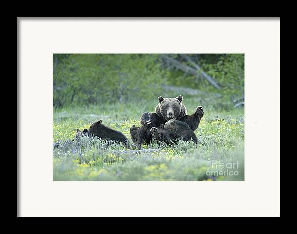 Bears Framed Print featuring the photograph Grizzly Romp - Grand Teton by Sandra Bronstein