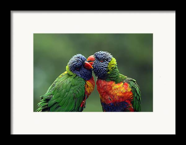 Lorikeets Framed Print featuring the photograph Grooming In The Rain by Lesley Smitheringale