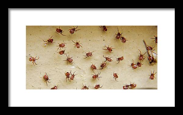 Group Of Baby Black Widow Spiders Framed Print