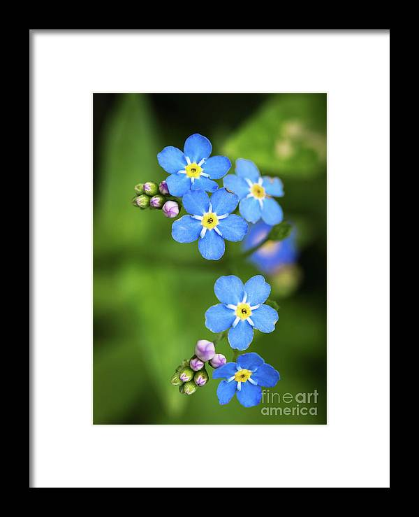 Forget Framed Print featuring the photograph Group Of Blue Flowers Forget-me-not by Jozef Jankola
