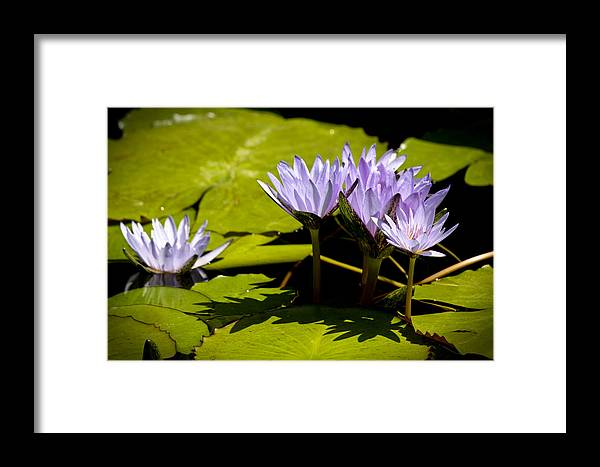 Purple Framed Print featuring the photograph Group Of Lavender Lillies by Teresa Mucha