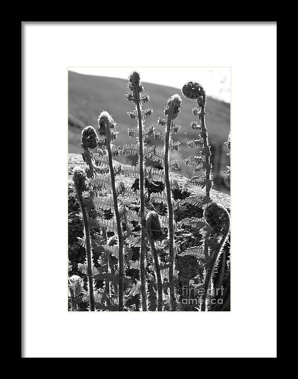 Plant Framed Print featuring the photograph Growing Ferns Black And White by John Cox
