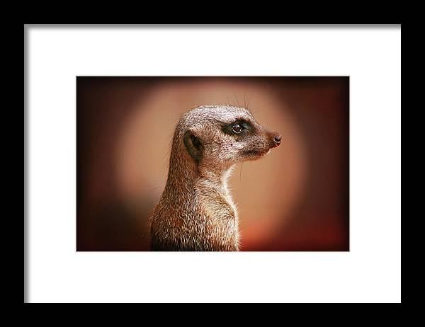 Meerkat Framed Print featuring the photograph Guard Duty by Douglas Barnard