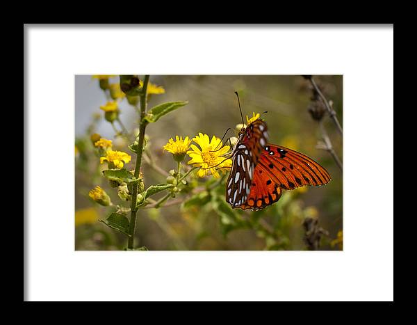 Gulf Fritillary Framed Print featuring the photograph Gulf Fritillary Agraulis Vanillae Red Butterfly by Dustin K Ryan