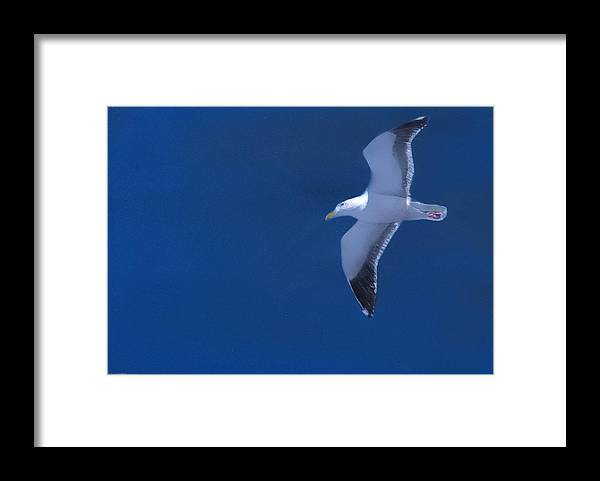 Gull Framed Print featuring the painting Gull by Charles Parks