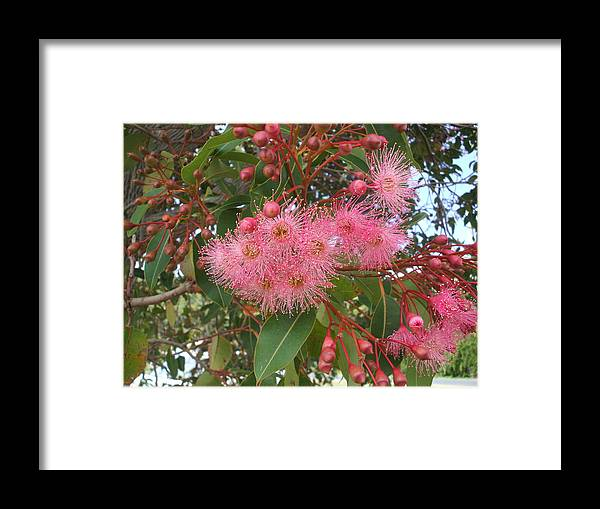 Gum Blossom Pink Green Flower Framed Print featuring the photograph Gum Blossom by Bethwyn Mills
