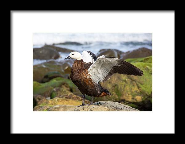 Birds Framed Print featuring the photograph Gymnastics by Peteris Vaivars