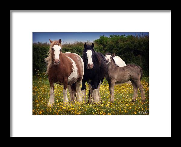 Gypsy Vanner Framed Print featuring the photograph Gypsy Mares And Foal by Elizabeth Vieira