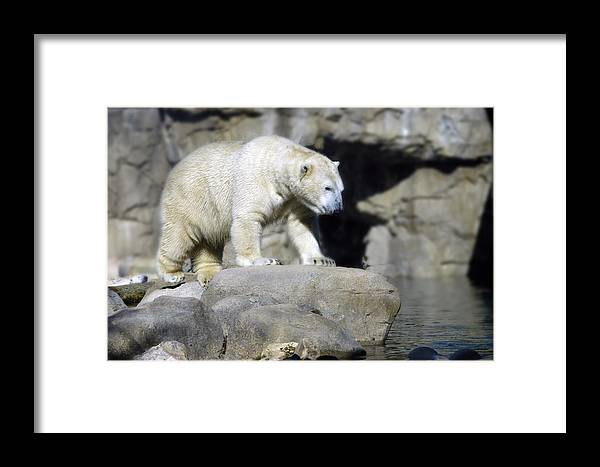 Memphis Zoo Framed Print featuring the photograph Habitat - Memphis Zoo by D'Arcy Evans